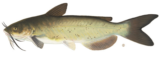 Yellow Cat (catfish)